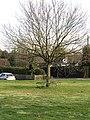 -2021-01-31 Tree with bench surround, Thorpe Market, Norfolk.JPG
