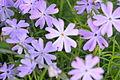 02014 Karpaten-Blumen, Sanok.JPG