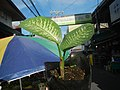 0546La Suerte lucky plant in the Philippines 01.jpg