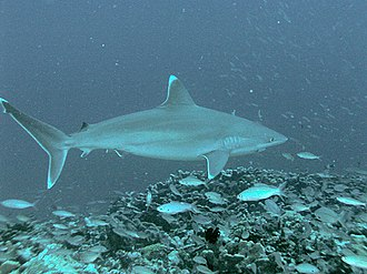 Spotted eagle ray - The silvertip shark is a predator of the spotted eagle ray.
