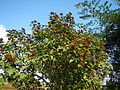 09778jfLandscapes Bixa orellana Maronquillo San Rafael Bulacanfvf 13.JPG