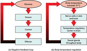 Negative feedback - Feedback loops in the human body