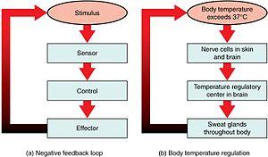 Negative feedback - Feedback loops in the human body