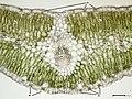 140330 Launaea arborescens - Blatt quer 100x B13.8 ZSD14 Messbild.jpg