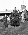 1961. V.M. Carolin tagging tree for experimental fumigation of the European pine shoot moth. Seattle, WA. (33934717023).jpg