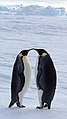 2007 Snow-Hill-Island Luyten-De-Hauwere-Emperor-Penguin-94.jpg