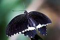 2010 Papilio polytes.jpg