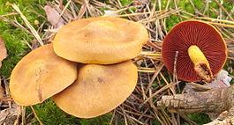 http://upload.wikimedia.org/wikipedia/commons/thumb/2/22/2012-10-10_Cortinarius_semisanguineus_(Fr.)_Gill_273430.jpg/265px-2012-10-10_Cortinarius_semisanguineus_(Fr.)_Gill_273430.jpg