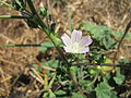 20130802Malva neglecta.jpg