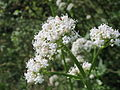 20140618Valeriana officinalis1.jpg
