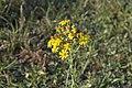 20150726 004 Kessel Weerdbeemden Jakobskruiskruid Jacobaea vulgaris subsp. vulgaris (19835970729).jpg