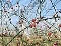 20150822Asparagus officinalis2.jpg