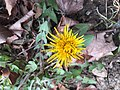 2016-01-15 13 25 49 A dandelion blooming in mid-winter along Terrace Boulevard in Ewing, New Jersey.jpg