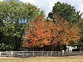 2016-09-17 13 36 34 Red Maples displaying early autumn leaf coloration due to drought along Franklin Farm Road in the Franklin Farm section of Oak Hill, Fairfax County, Virginia.jpg