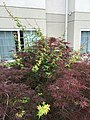 2017-06-13 08 03 42 Red Laceleaf Japanese Maple reverting to standard green by way of suckers beneath the graft point along Bristol East Road in Bristol, Virginia.jpg