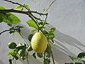 2017-10-26 Ripening lemons on a tree, Albufeira (4).JPG