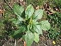 20170922Amaranthus retroflexus.jpg