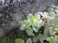 20171226Veronica persica1.jpg