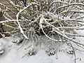 2018-03-21 11 21 30 A Forsythia covered in snow while flowering along Tranquility Court in the Franklin Farm section of Oak Hill, Fairfax County, Virginia.jpg