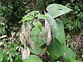 2018-08-11 (160) Lunaria rediviva (perennial honesty) at Tirolerkogel, Annaberg, Austria.jpg