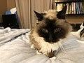 2019-11-04 09 52 04 A Ragdoll cat walking on a bed in the Franklin Farm section of Oak Hill, Fairfax County, Virginia.jpg