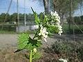20200424Alliaria petiolata1.jpg