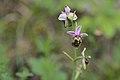 20200611 Ophrys fuciflora.jpg