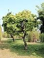 2021 Hofgarten Mispelbaeume.jpg