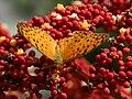 296紅擬豹斑蝶3(游釗敏攝) (12943855385).jpg