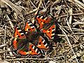3 Small Tortoiseshells (17129649989).jpg