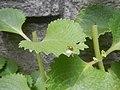4733Common houseflies in Philippines 12.jpg