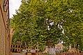 4 старых восточных платана (Platanus orientalis) - гордость и украшение двора перед Дербентской Джума-мечетью. Дагестан.jpg