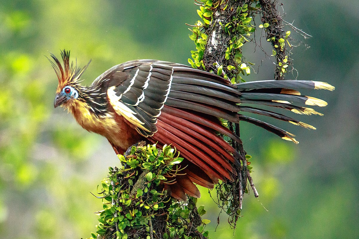 hoatzin wikipedia. Black Bedroom Furniture Sets. Home Design Ideas