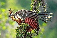 4 day trip to La Selva Lodge on the Napo River in the Amazon jungle of E. Ecuador - Hoatzin (Opisthocomus hoazin) - (26592958760).jpg