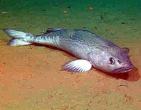4sablefish 500.jpg