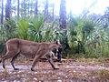 9 24 12 - Florida panther with kitten (8290890387).jpg
