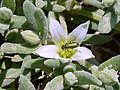 A.hispanicum-flor-1.jpg