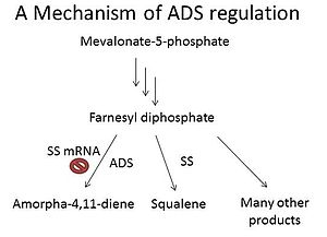 Amorpha-4,11-diene synthase - Figure 1: ADS regulation by SS mRNA