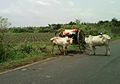 A Bullock cart near Pandrangi village.jpg