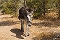 A Donkey at a pasture north of Frigilliana.jpg
