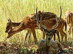 A GROUP OF SPOTTED DEERS.jpg