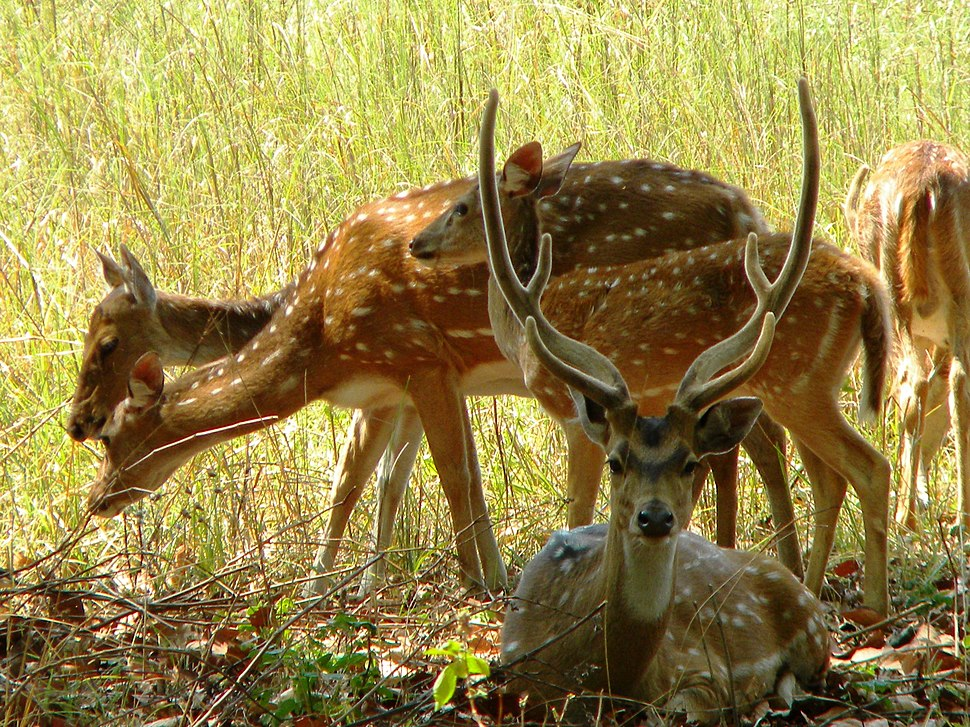 A GROUP OF SPOTTED DEERS