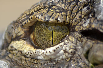 Crocodile - Crocodile eye