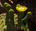 A few hours ashore at Puerto Baquerizo Moreno on Isla San Cristobal - cactus flower (16664939006).jpg
