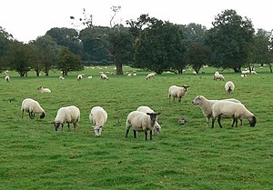 Leicestershire - A field of sheep near Stoke Golding