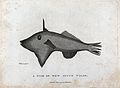 A fish of New South Wales. Etching by P. Mazell after D. But Wellcome V0022870.jpg