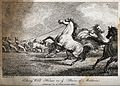 A group of men catching horses with a lasso. Etching by W. S Wellcome V0021807.jpg