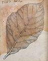 A leaf of the teak plant (Tectona grandis). Pencil drawing. Wellcome V0043517.jpg