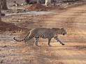 A male leopard, Nagarahole TR AJTJ P1090065.jpg