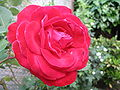 A red rose with dewdrops 1.jpg